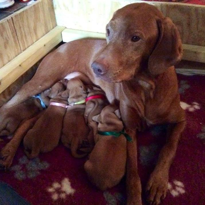 Rebelritsi Gundogs puppies