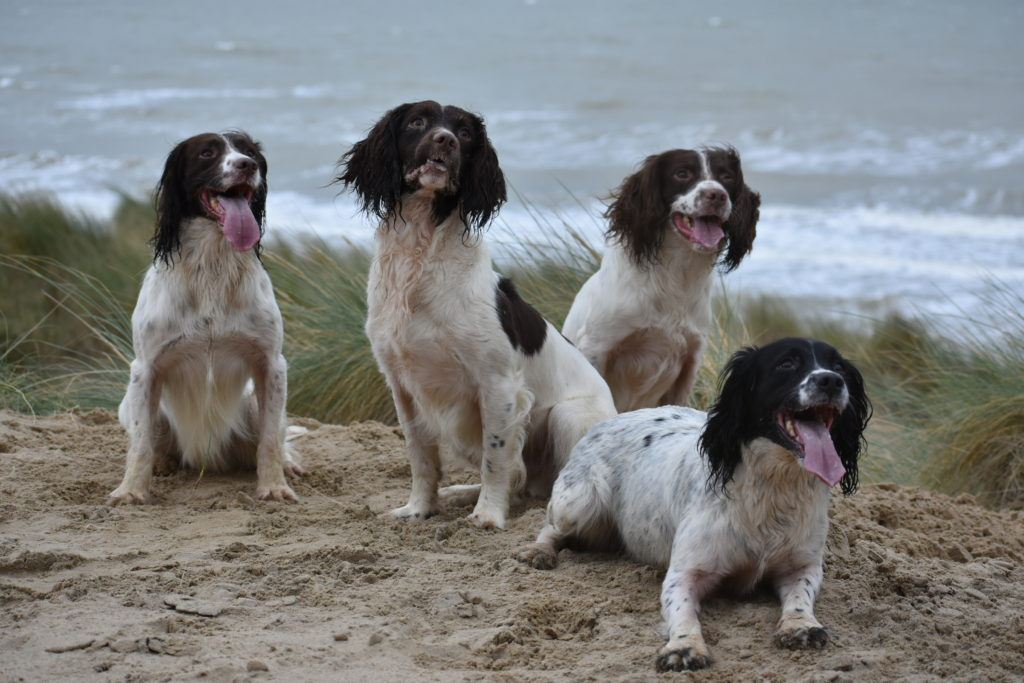 our spaniels