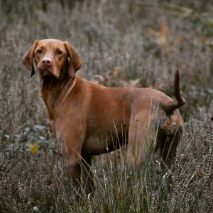 Rebelritsi gundogs breed standard