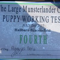 4th in puppy at Large Munsterlander club WT